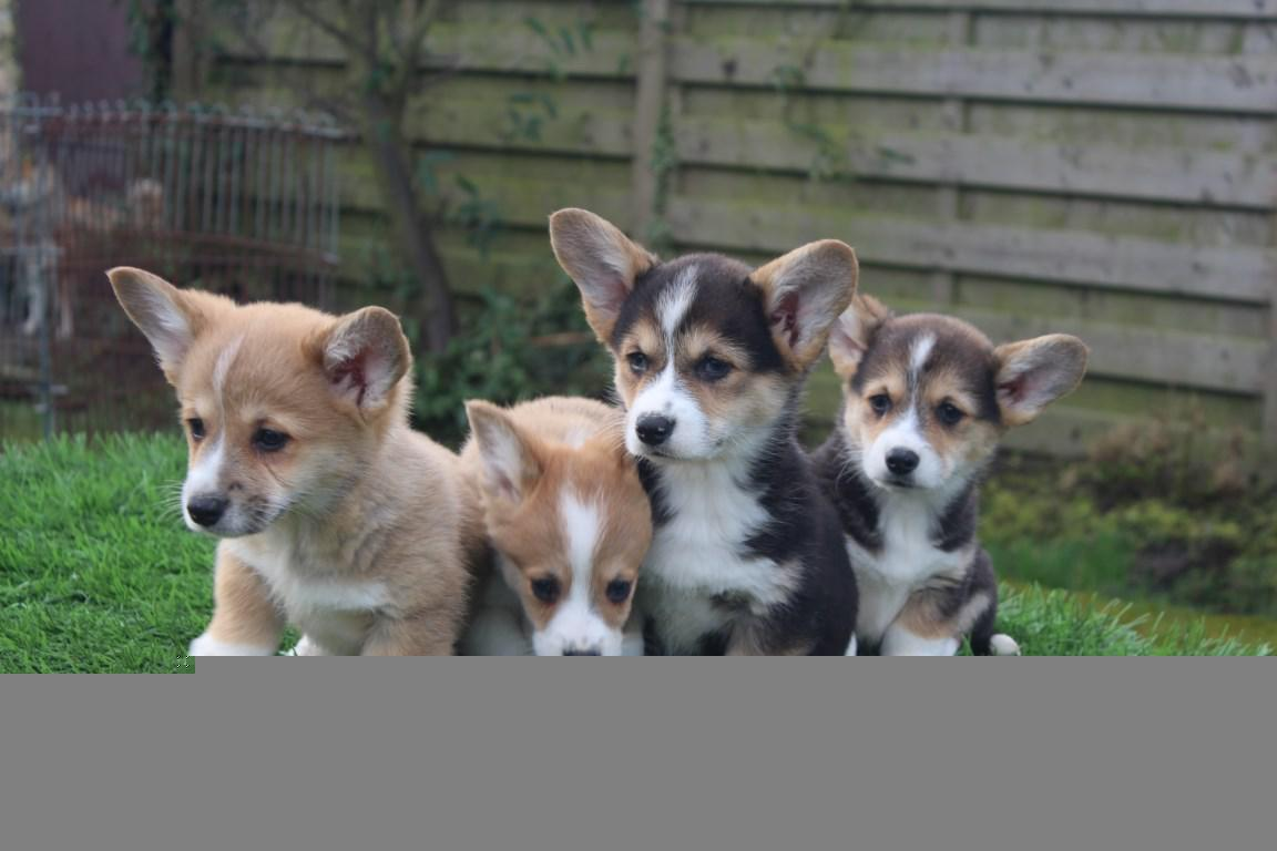 Welsh Corgi Pembroke for sale